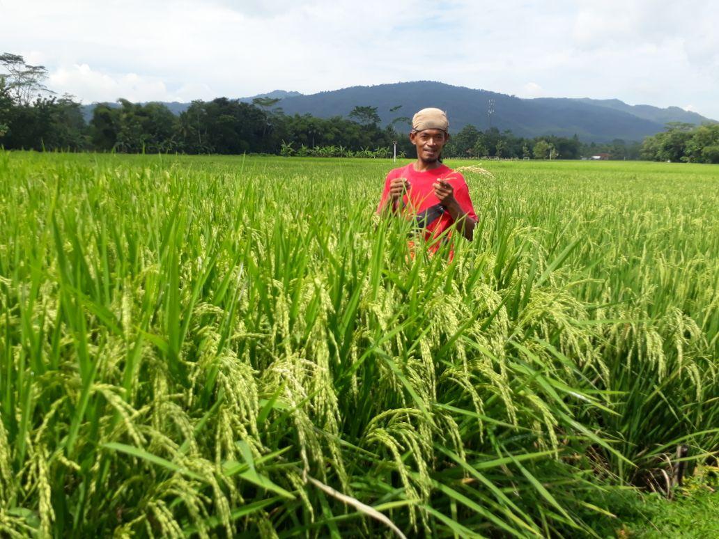 Senyum Harapan Petani Wlahar Wetan di Tengah Hamparan Inpago Unsoed 1
